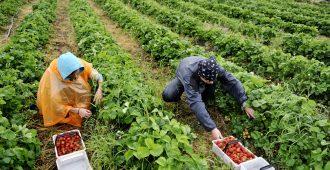 Reijonen: Maatalouteen löytyy kausityöntekijöitä Suomesta, kun työn tekeminen tehdään kannattavaksi