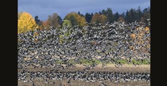 Valkoposkihanhen metsästyksen salliva kansalaisaloite kerää hurjana allekirjoituksia – jo yli 43 000 kasassa