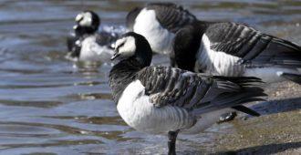 Pitäisikö valkoposkihanhi poistaa luonnonsuojelulain piiristä? – Viro ja Ruotsi ampuvat riistalajiksi määriteltyä lintua EU:n luvalla