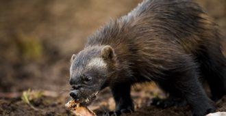 """Simula huolissaan ympärivuorokautisten ruokintahaaskojen määrästä ja valvonnan vähyydestä: """"Petojen ruokintahaaskat uhka luonnolle ja metsästykselle"""""""